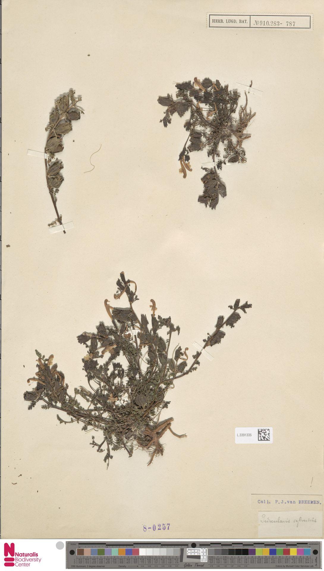 L.3391335 | Pedicularis sylvatica L.