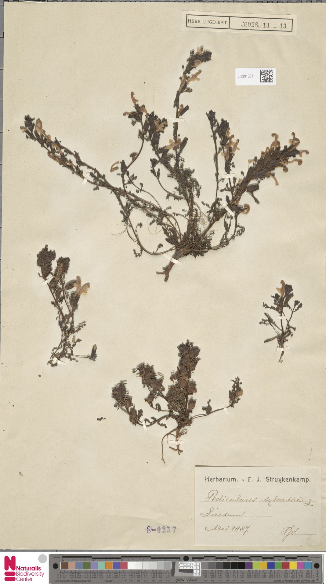 L.3391337 | Pedicularis sylvatica L.