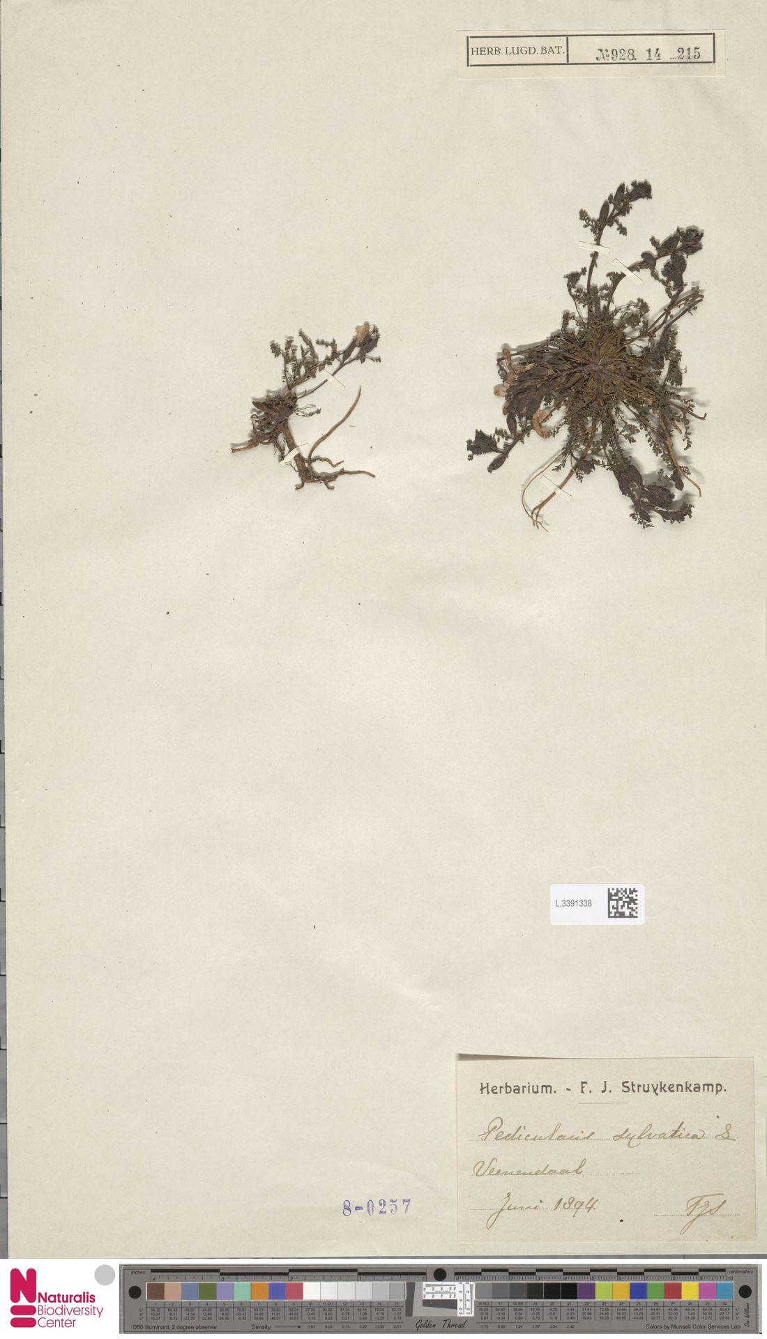 L.3391338 | Pedicularis sylvatica L.