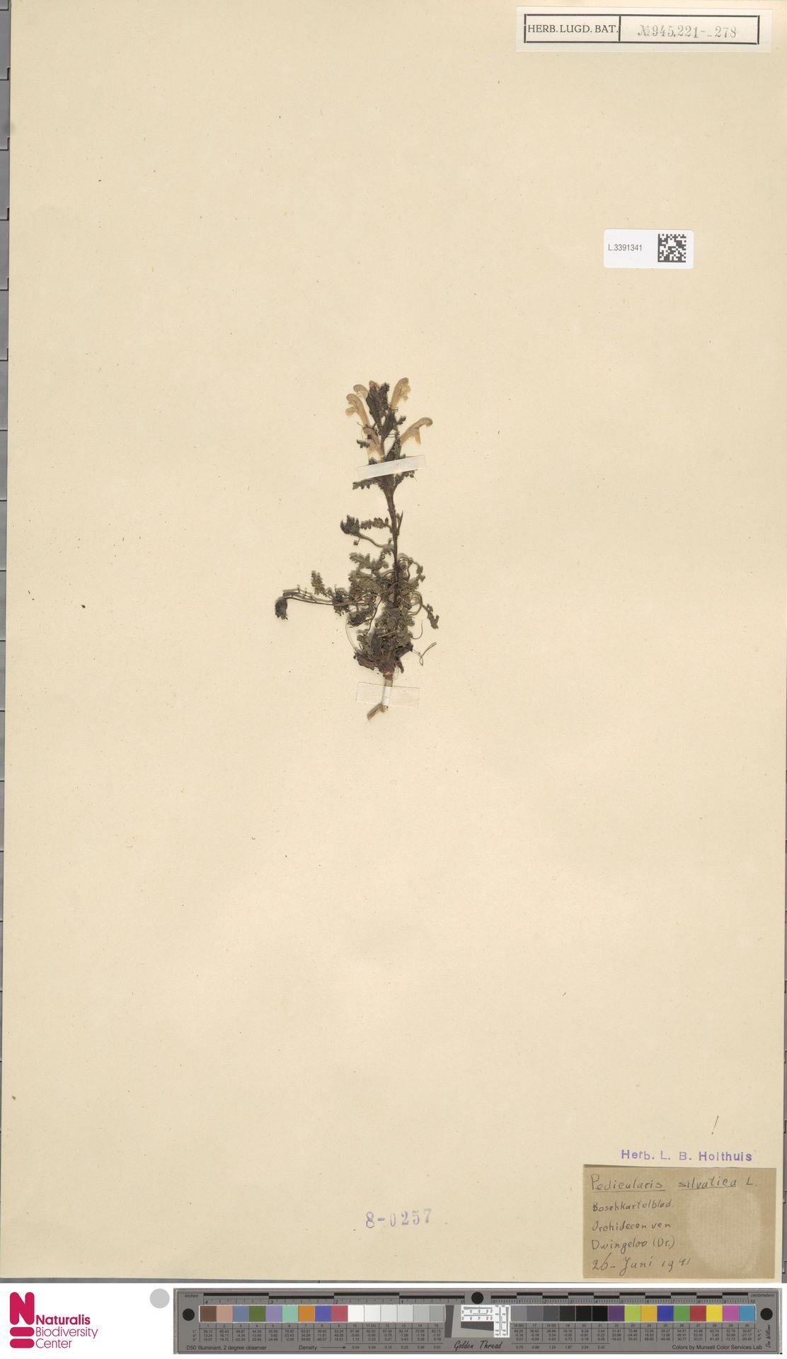 L.3391341 | Pedicularis sylvatica L.