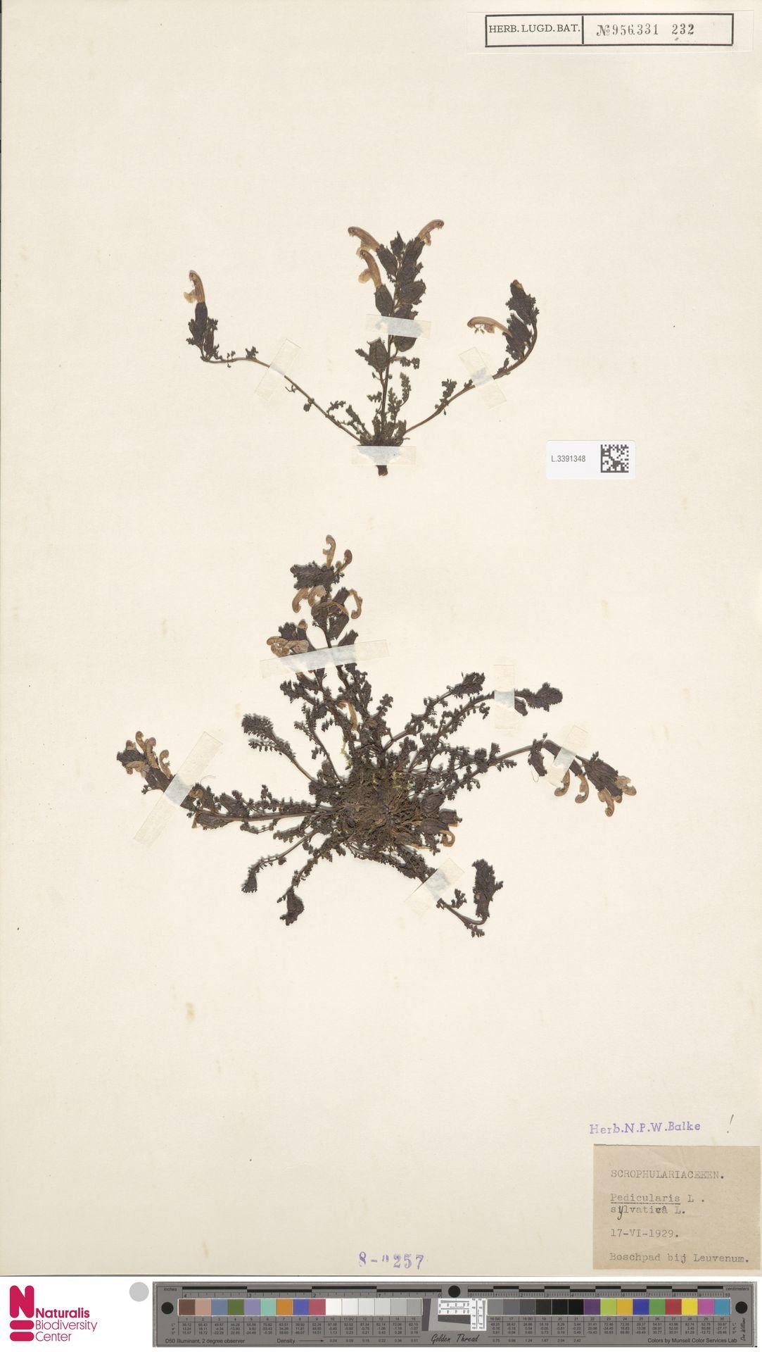 L.3391348 | Pedicularis sylvatica L.