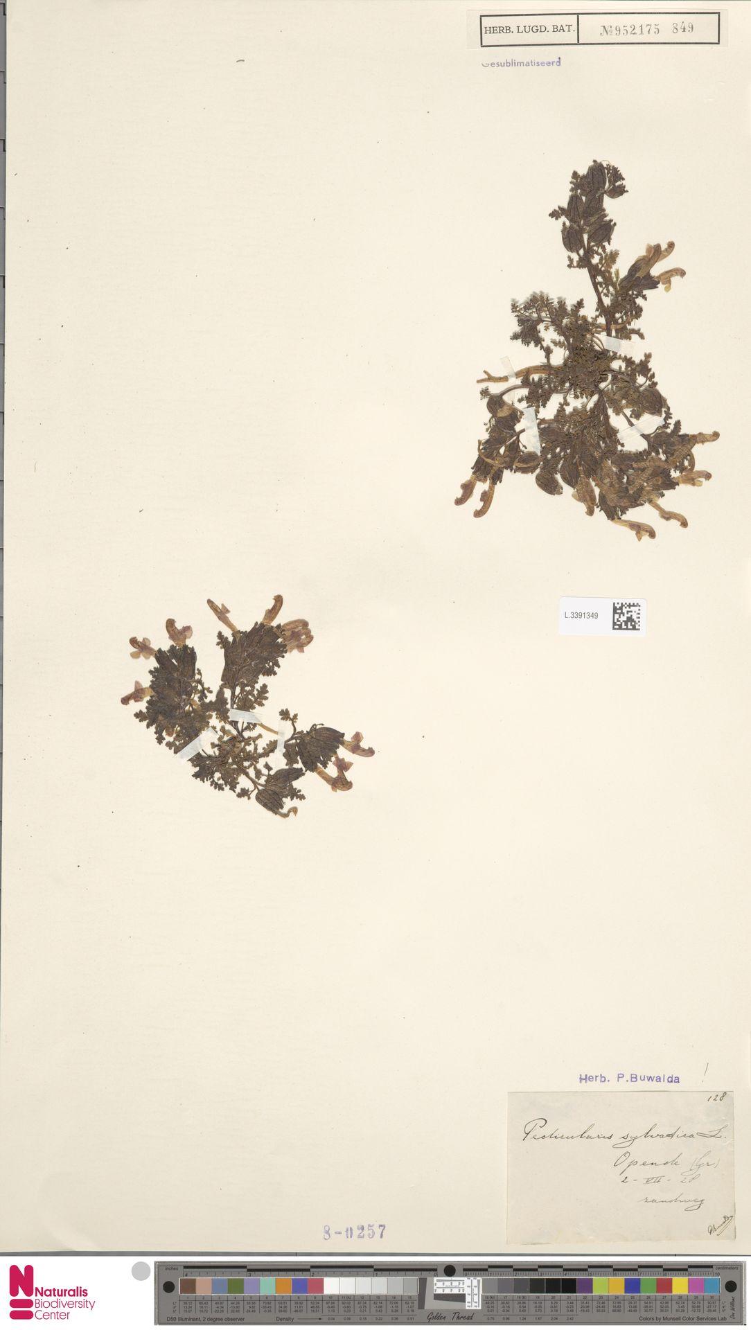 L.3391349 | Pedicularis sylvatica L.