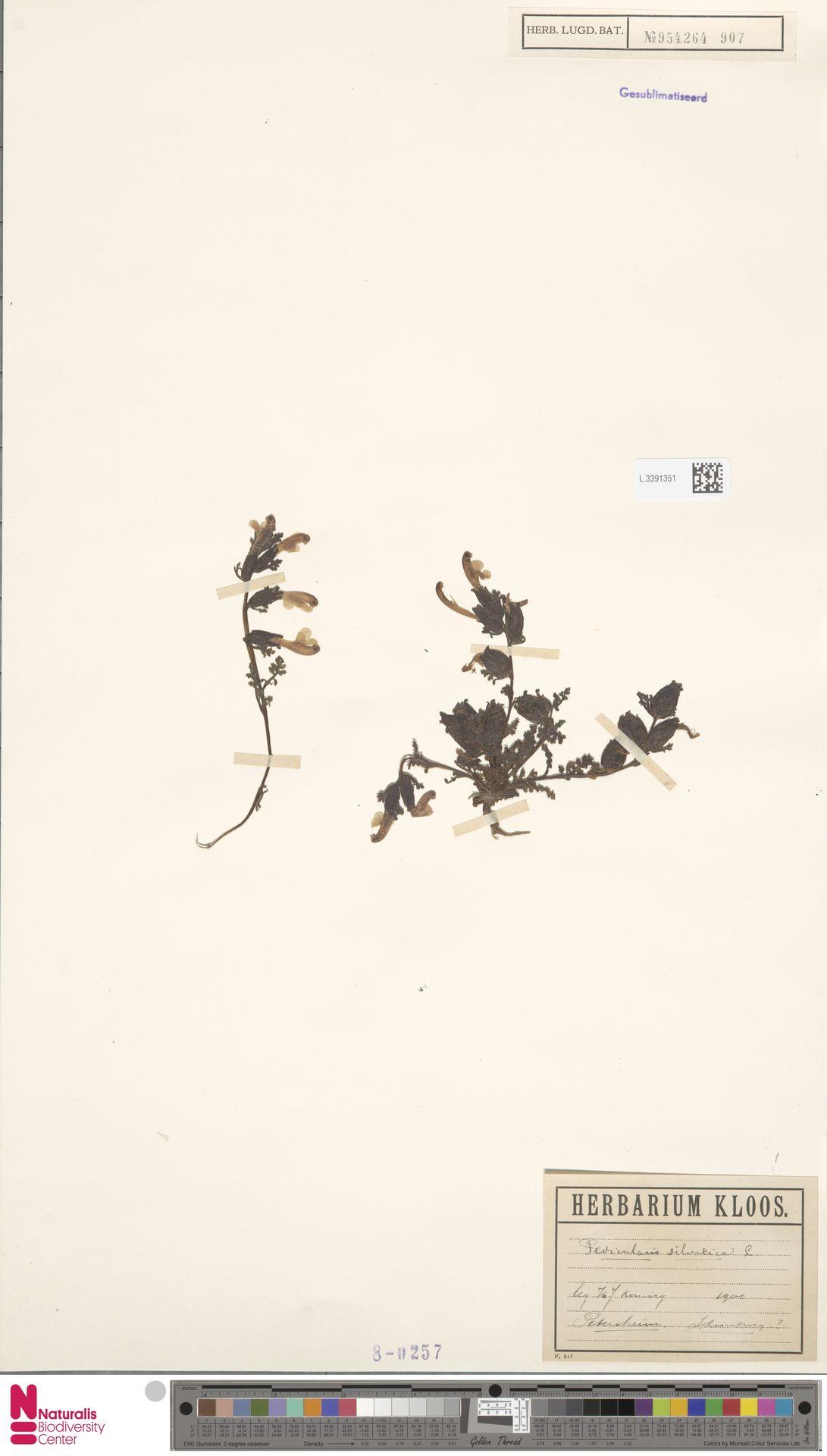 L.3391351 | Pedicularis sylvatica L.