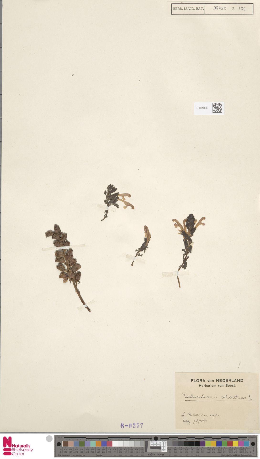 L.3391356 | Pedicularis sylvatica L.