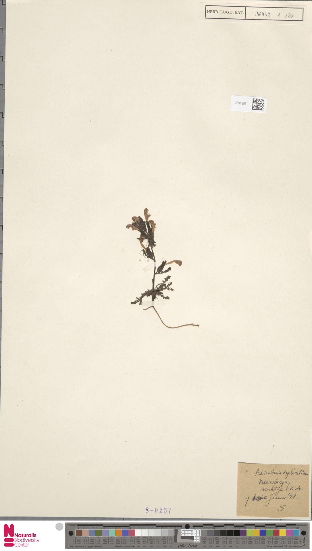 L.3391357 | Pedicularis sylvatica L.