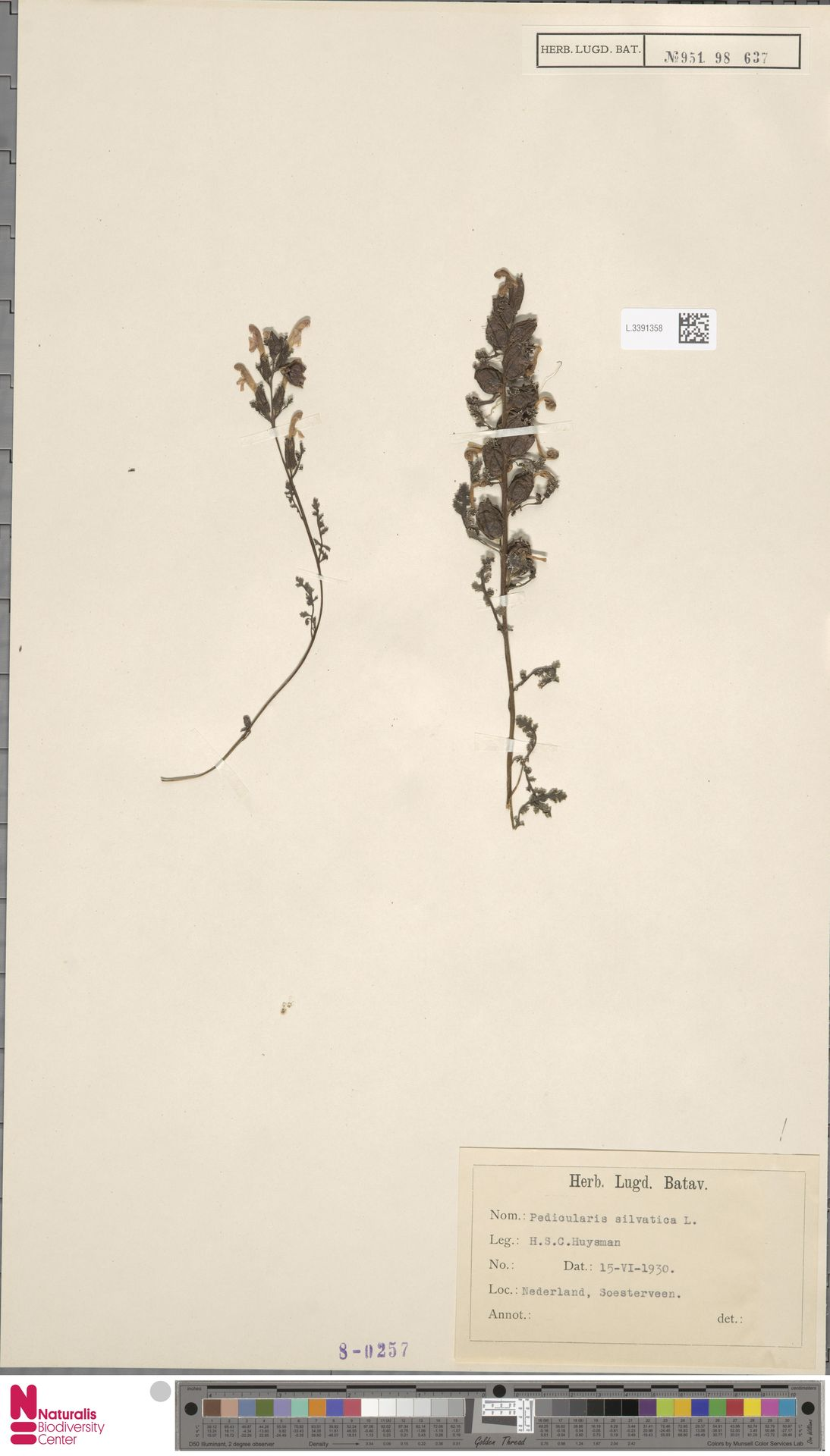 L.3391358 | Pedicularis sylvatica L.
