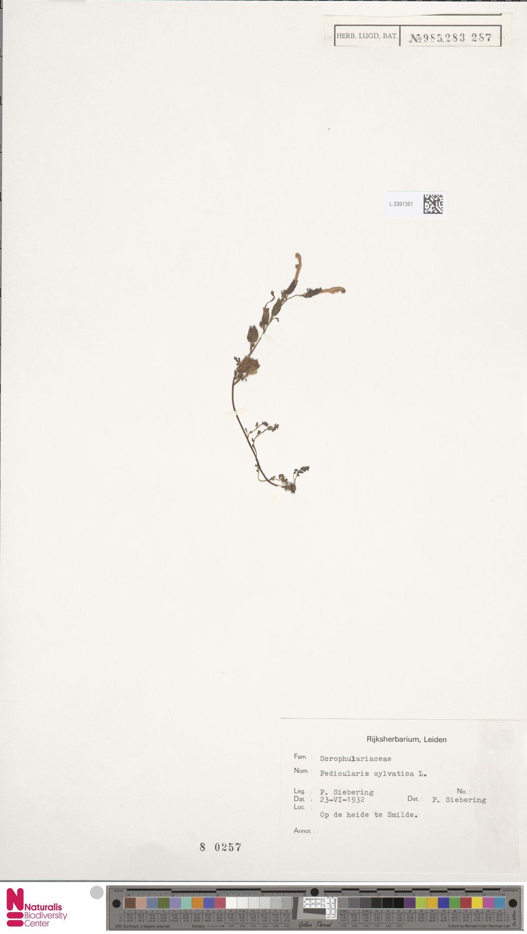 L.3391361 | Pedicularis sylvatica L.