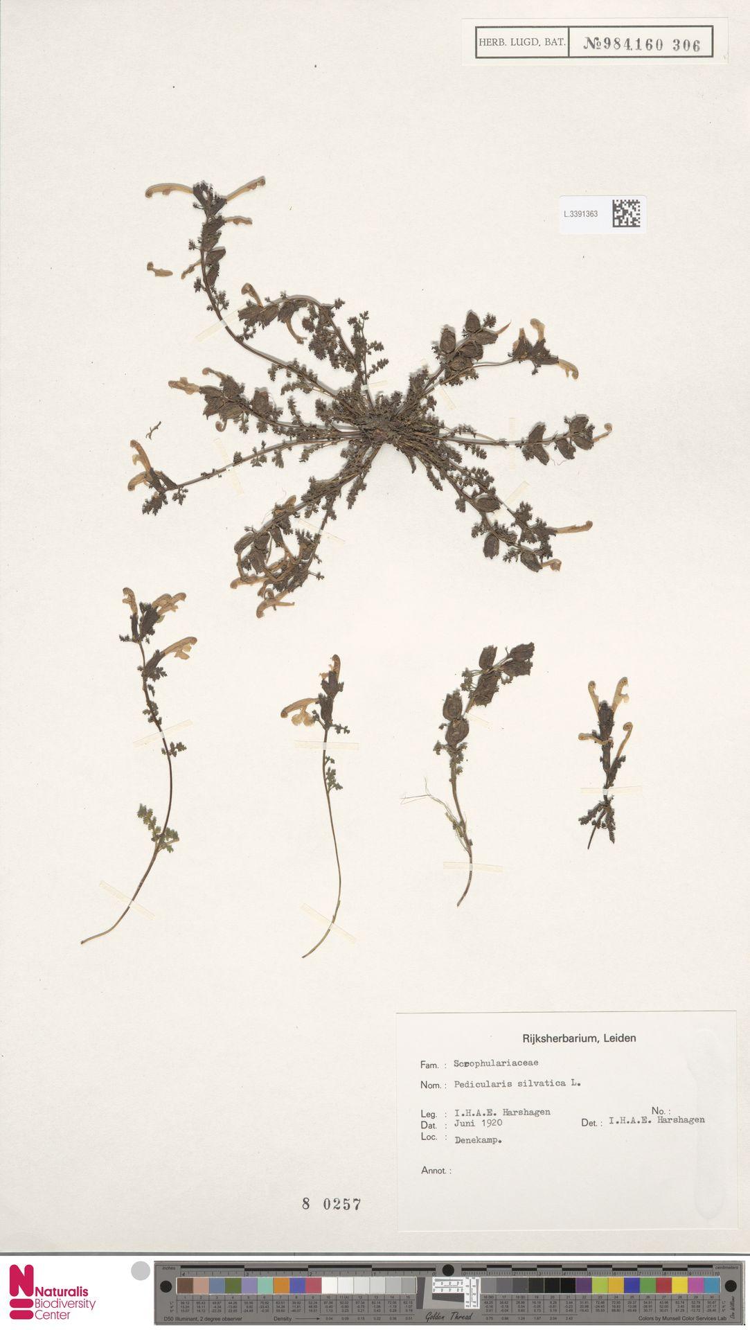 L.3391363 | Pedicularis sylvatica L.