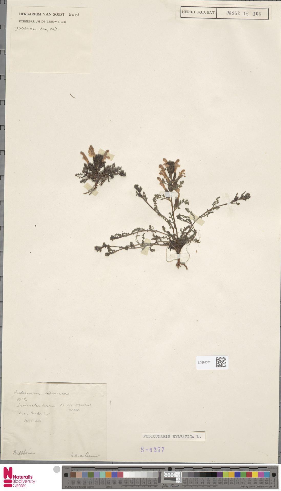 L.3391371 | Pedicularis sylvatica L.