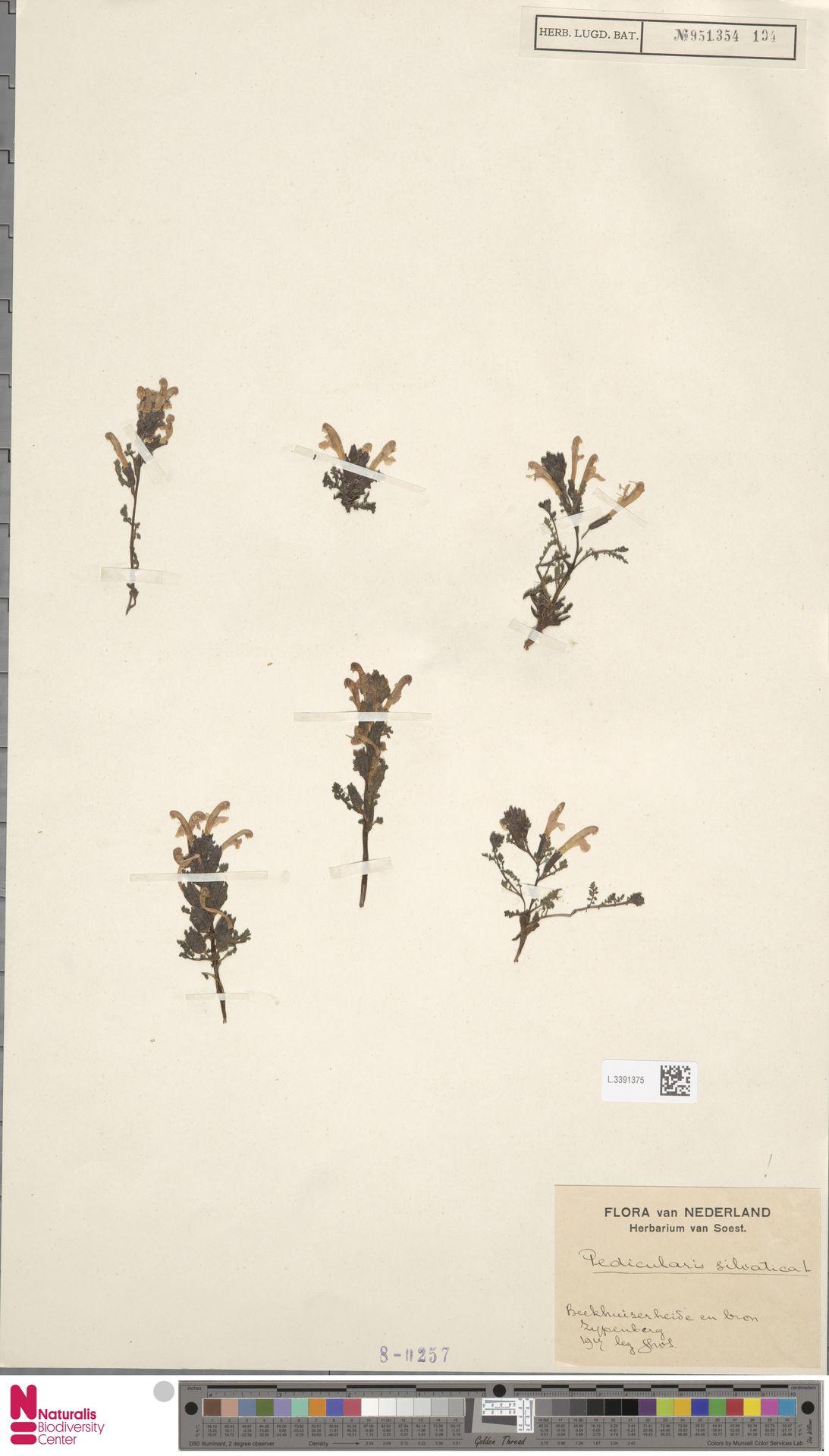 L.3391375 | Pedicularis sylvatica L.