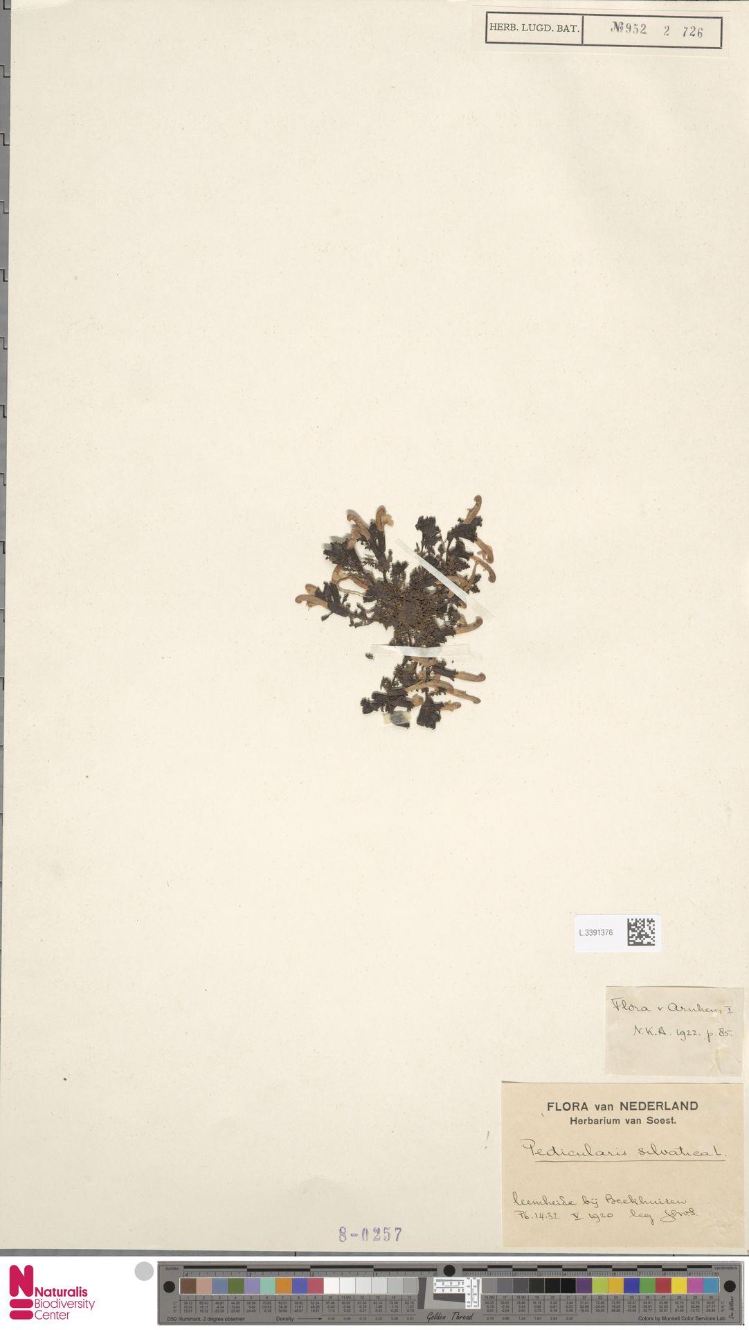 L.3391376 | Pedicularis sylvatica L.