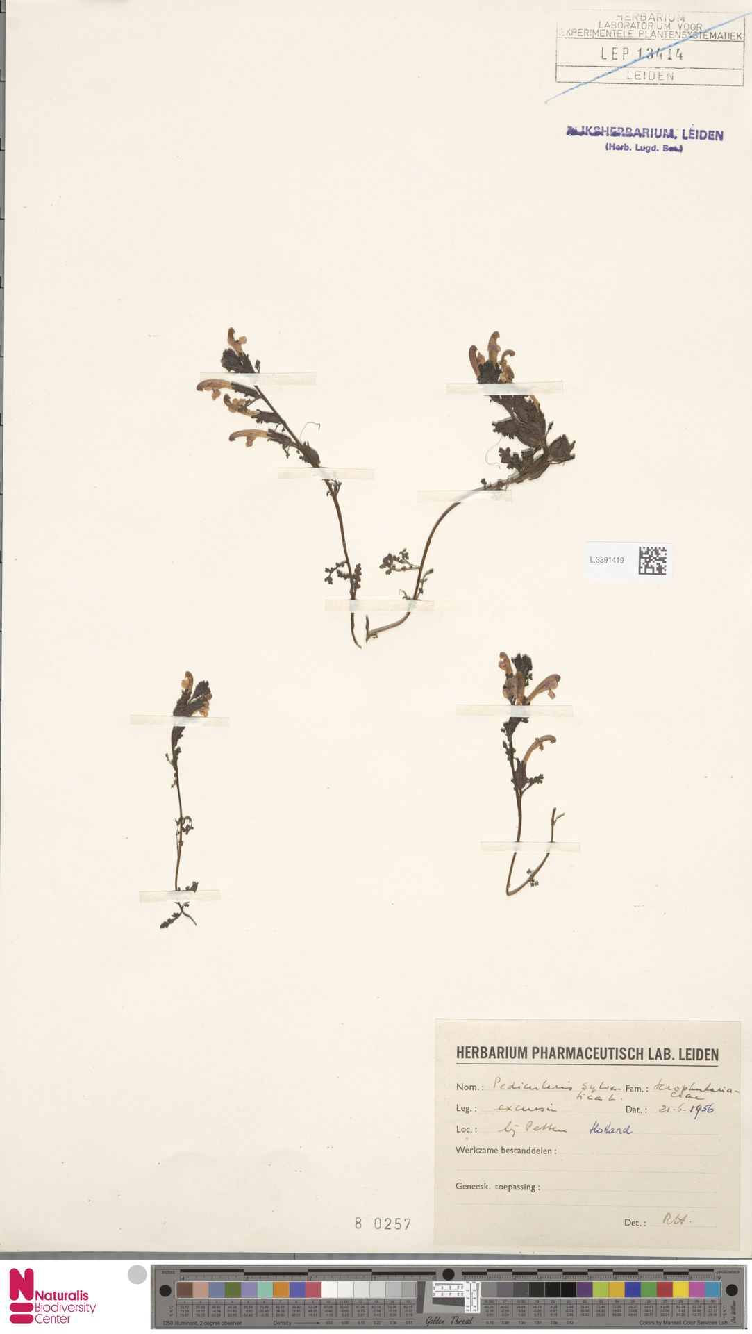 L.3391419 | Pedicularis sylvatica L.