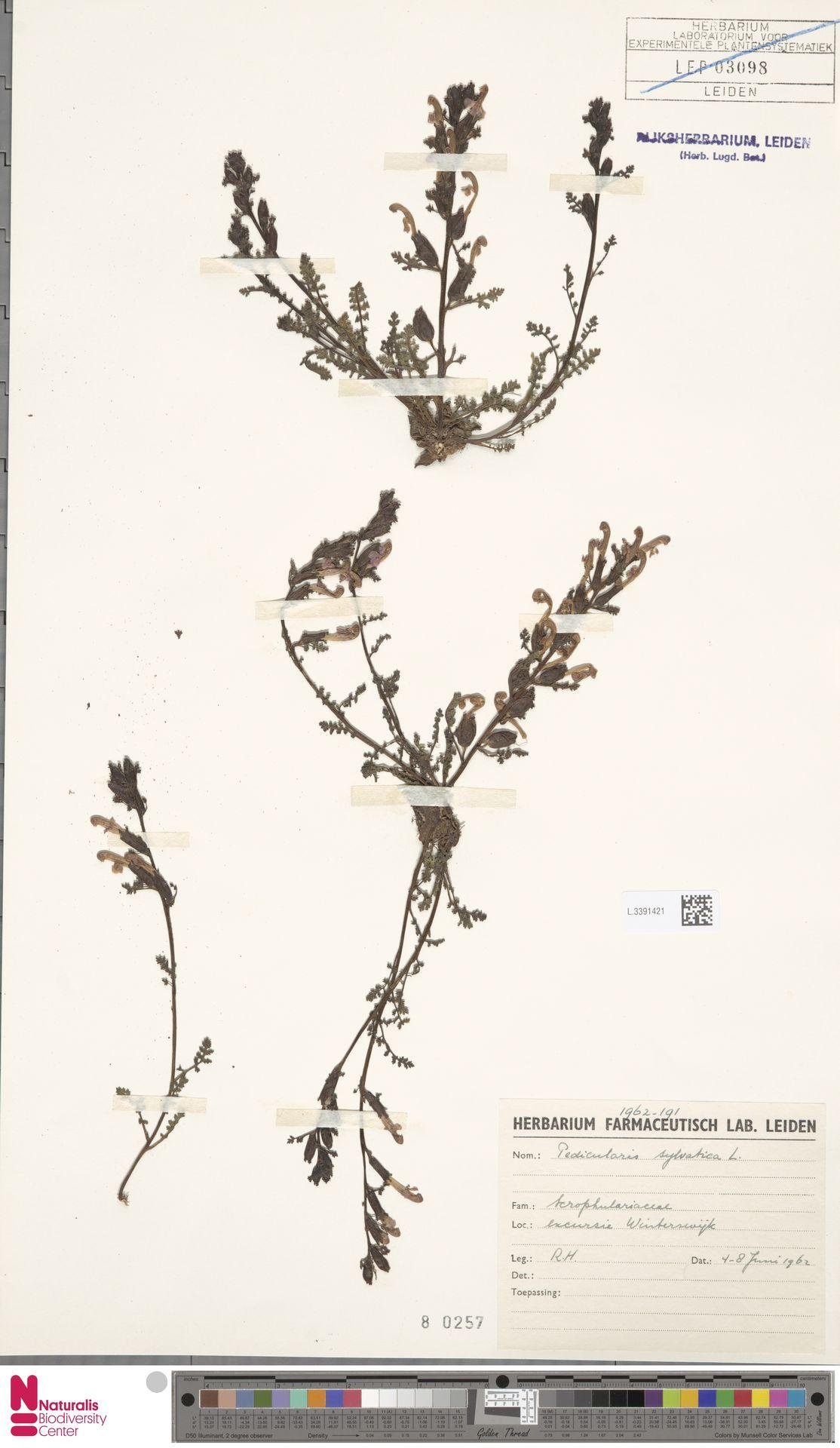 L.3391421 | Pedicularis sylvatica L.