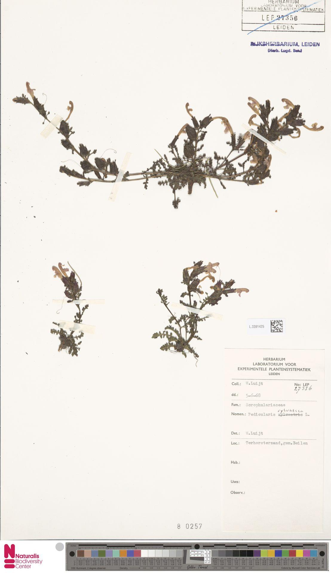 L.3391425 | Pedicularis sylvatica L.