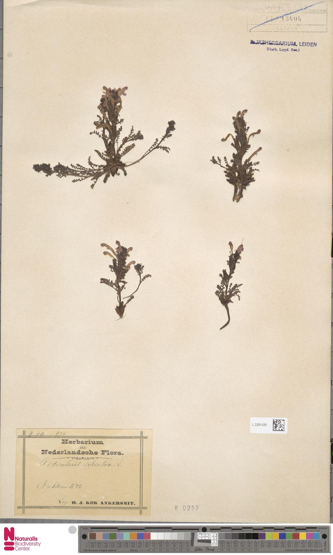 L.3391426 | Pedicularis sylvatica L.