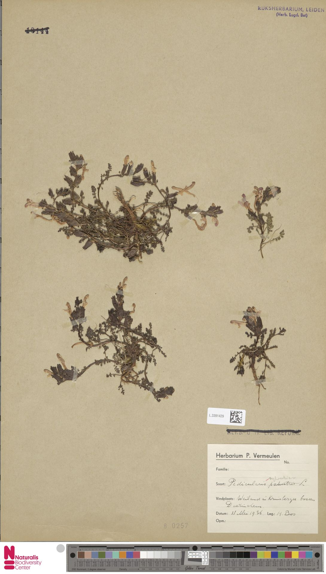 L.3391429 | Pedicularis sylvatica L.
