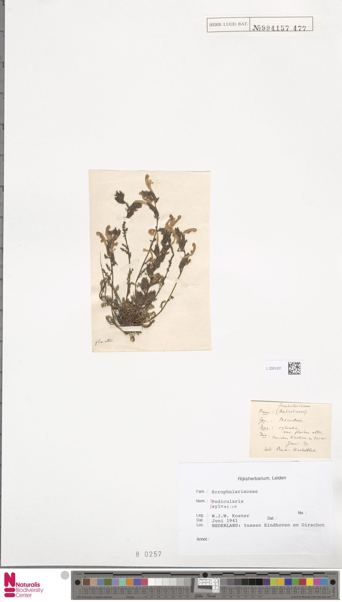 L.3391431 | Pedicularis sylvatica L.