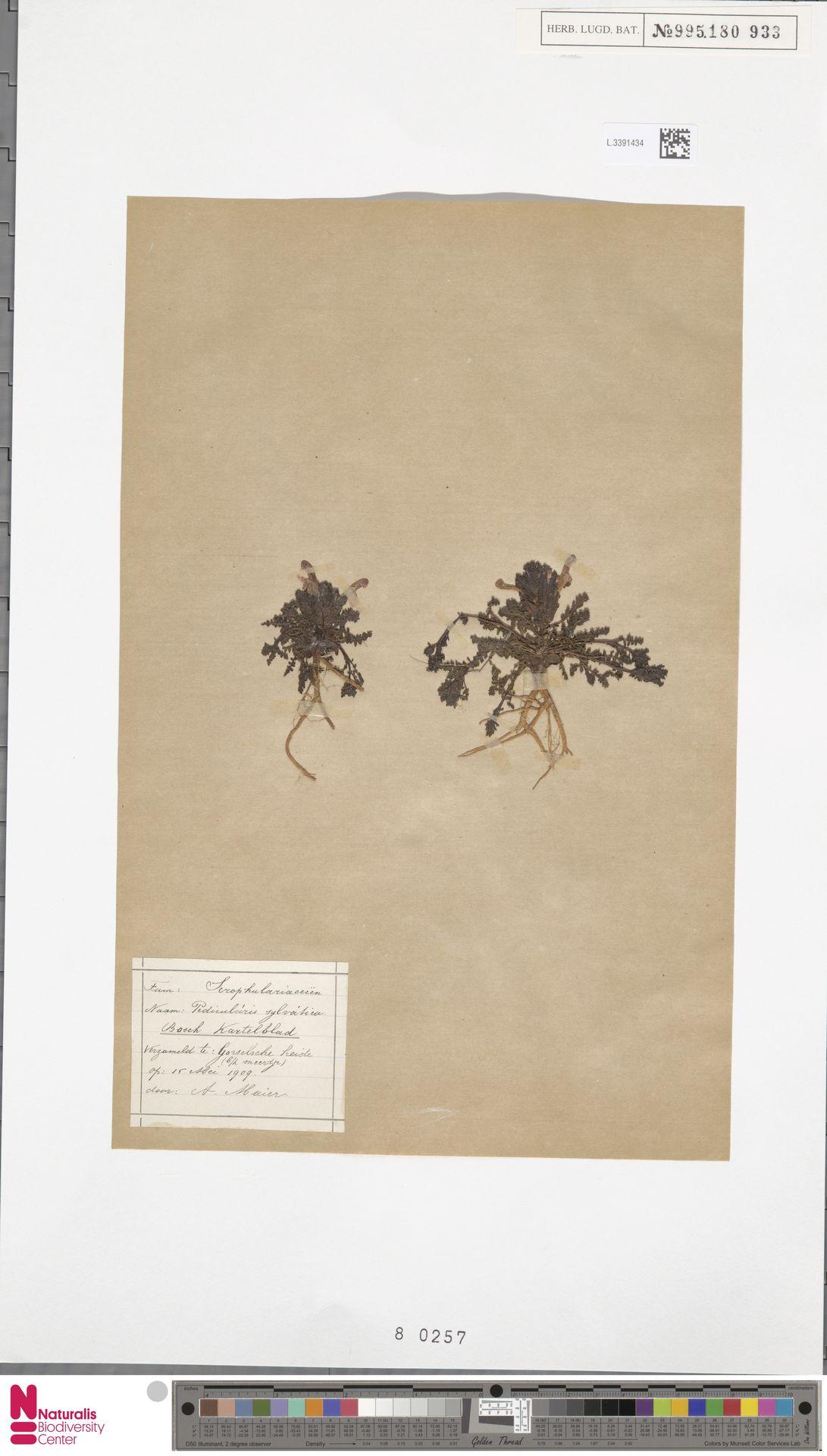 L.3391434 | Pedicularis sylvatica L.