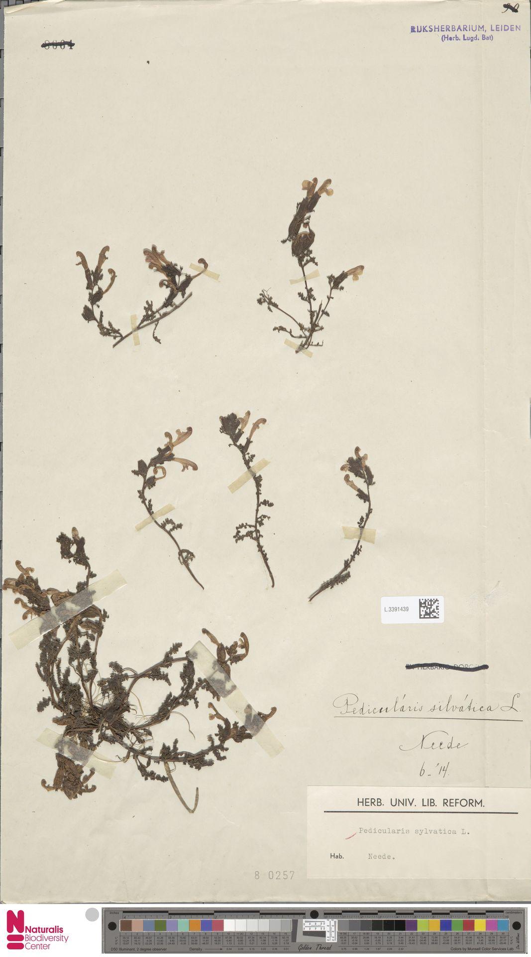 L.3391439 | Pedicularis sylvatica L.