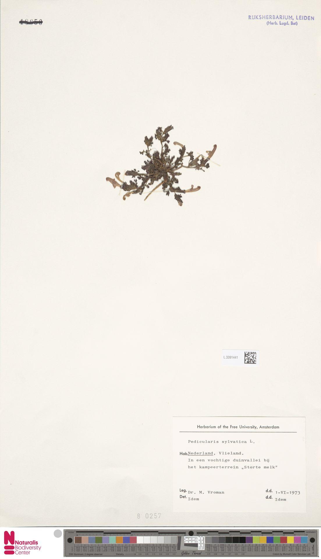 L.3391441 | Pedicularis sylvatica L.