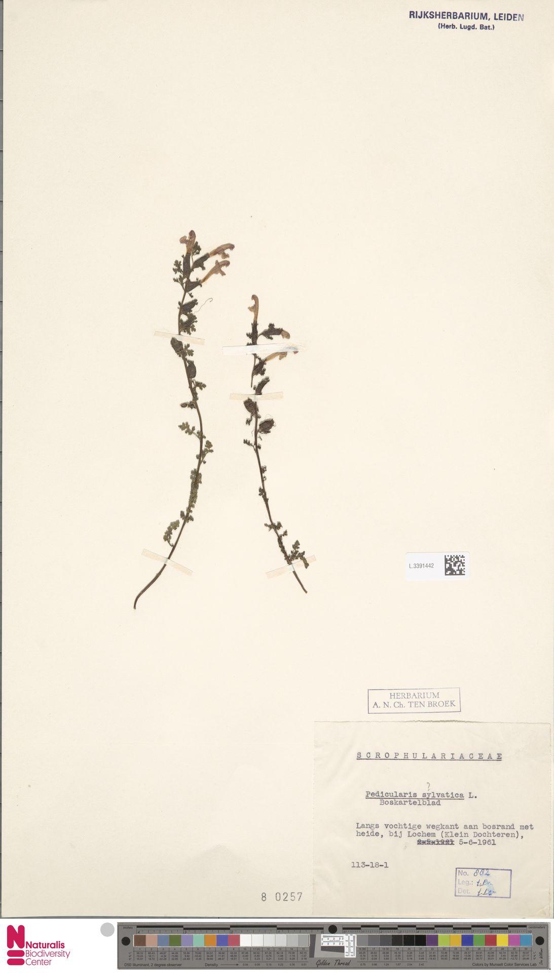 L.3391442 | Pedicularis sylvatica L.