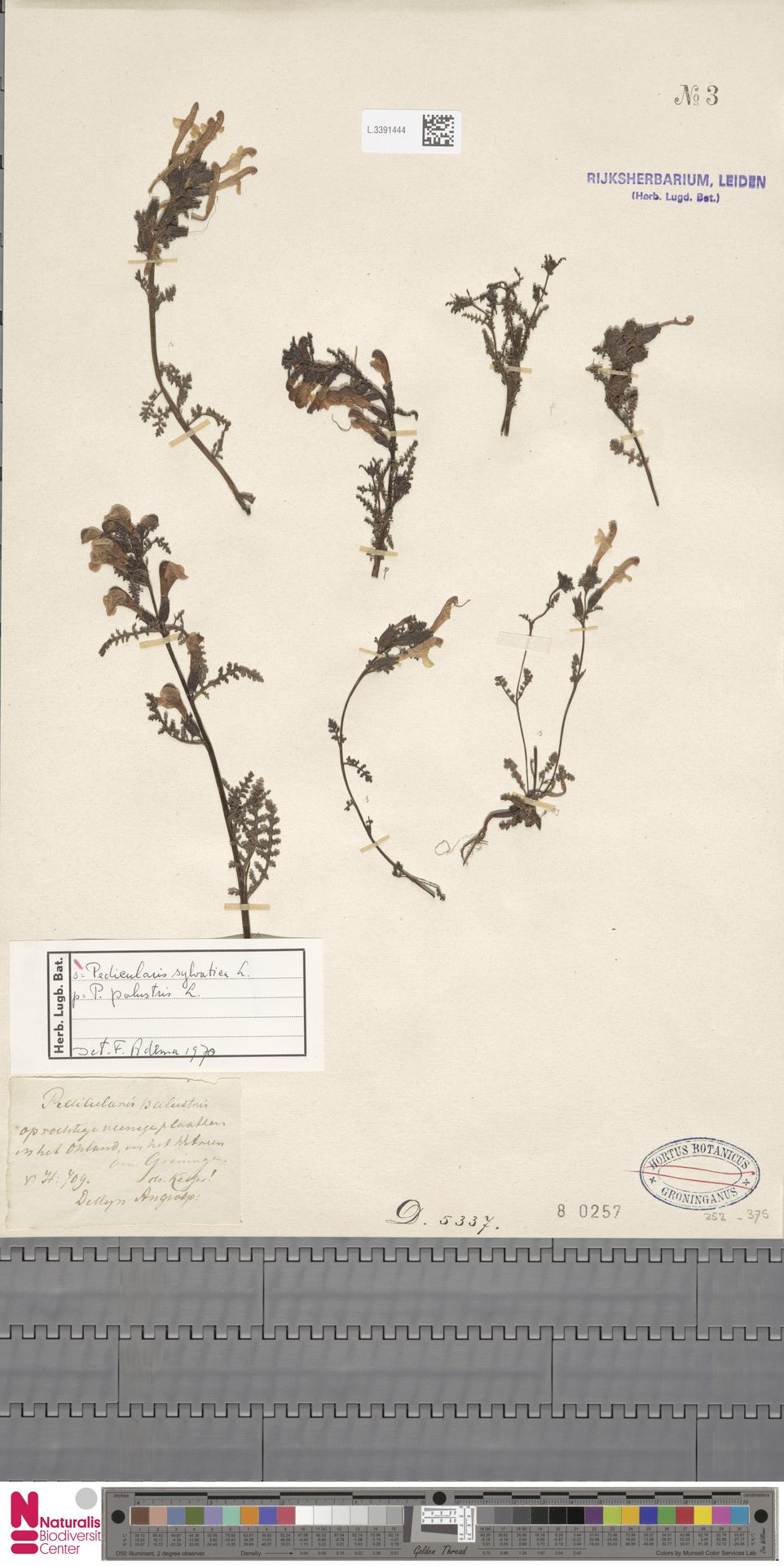 L.3391444 | Pedicularis sylvatica L.