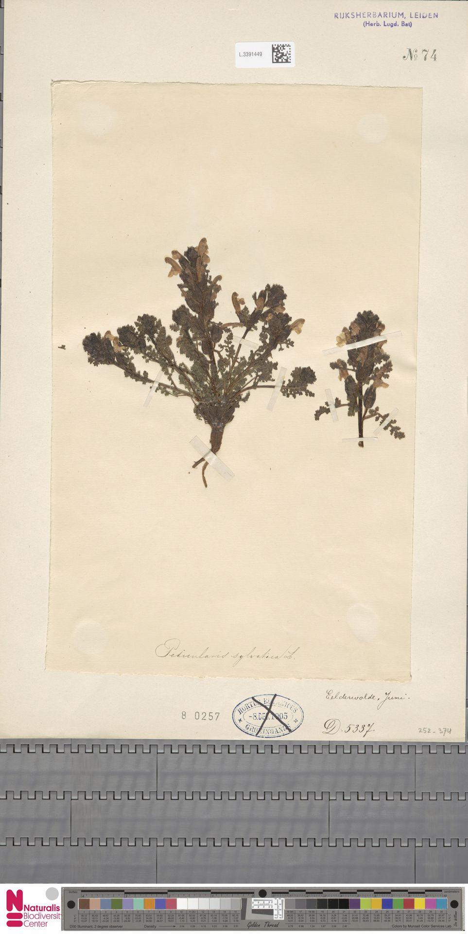 L.3391449 | Pedicularis sylvatica L.