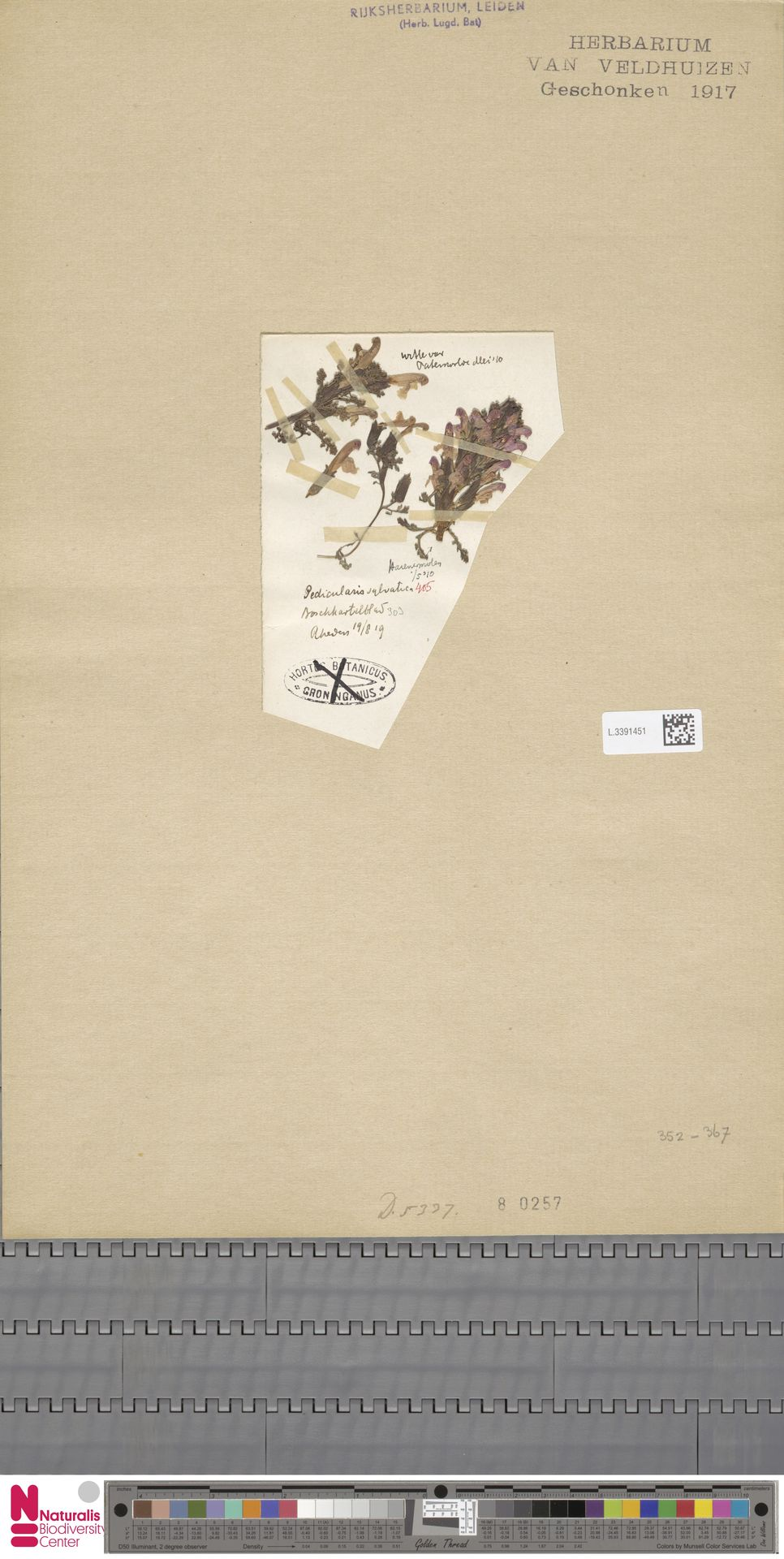 L.3391451 | Pedicularis sylvatica L.