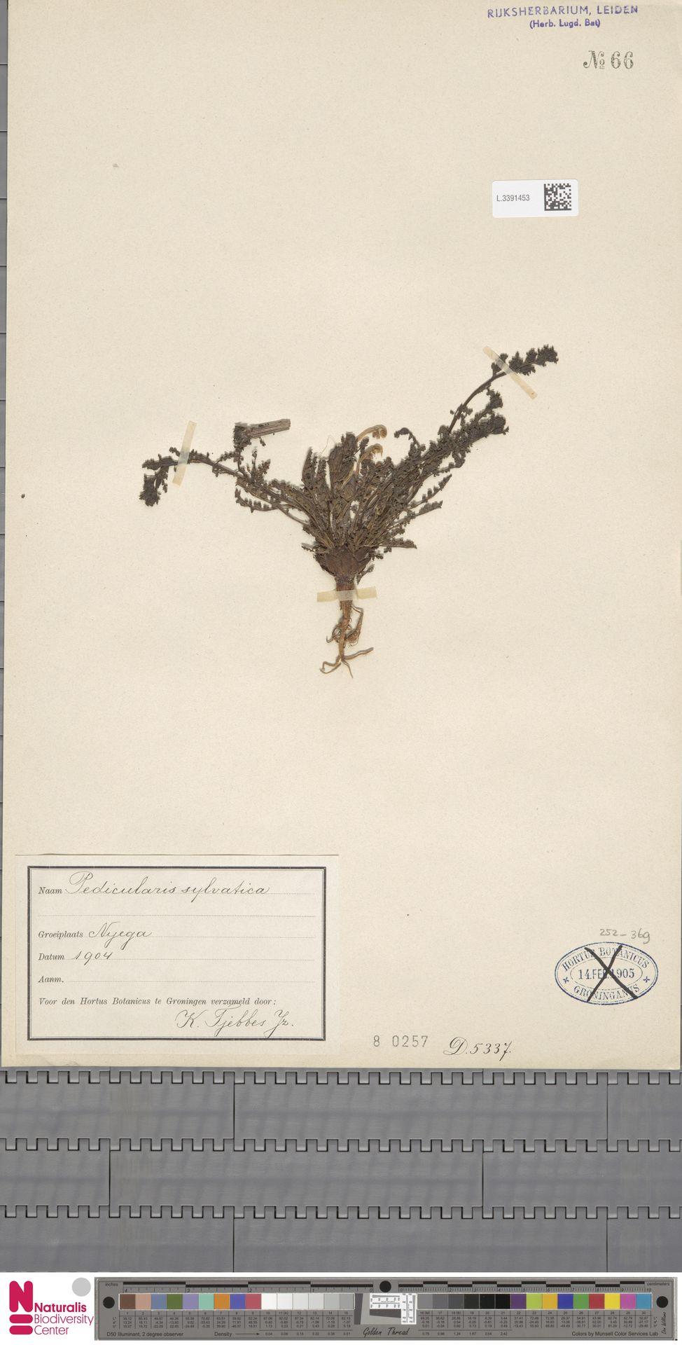 L.3391453 | Pedicularis sylvatica L.