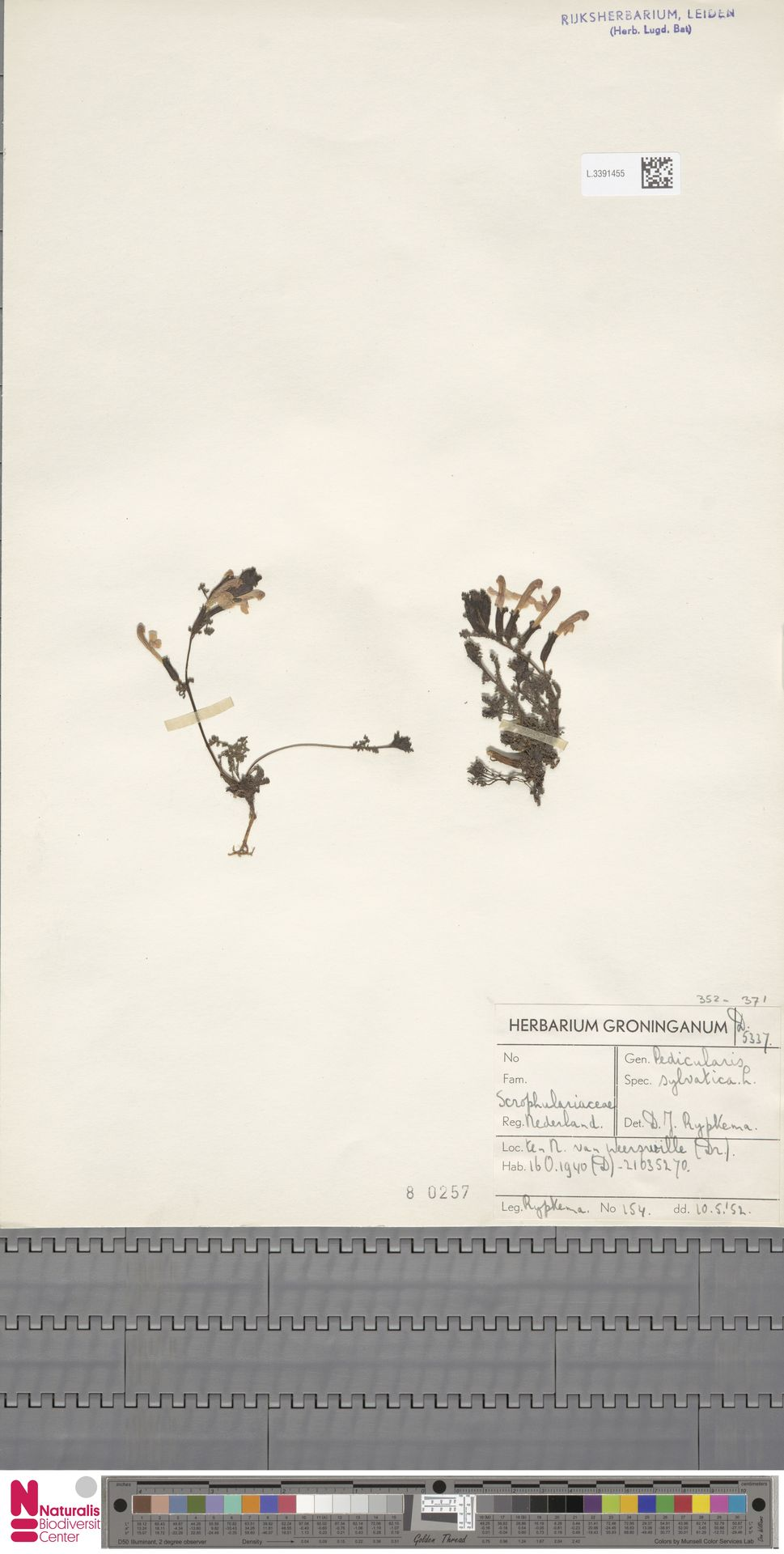 L.3391455 | Pedicularis sylvatica L.