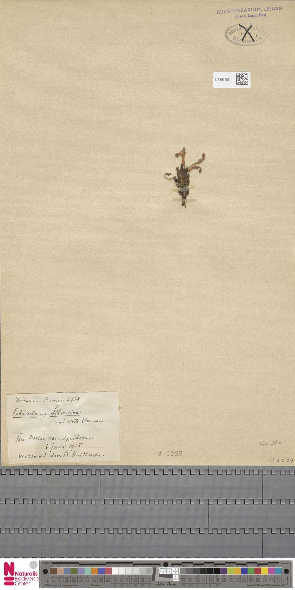 L.3391458 | Pedicularis sylvatica L.