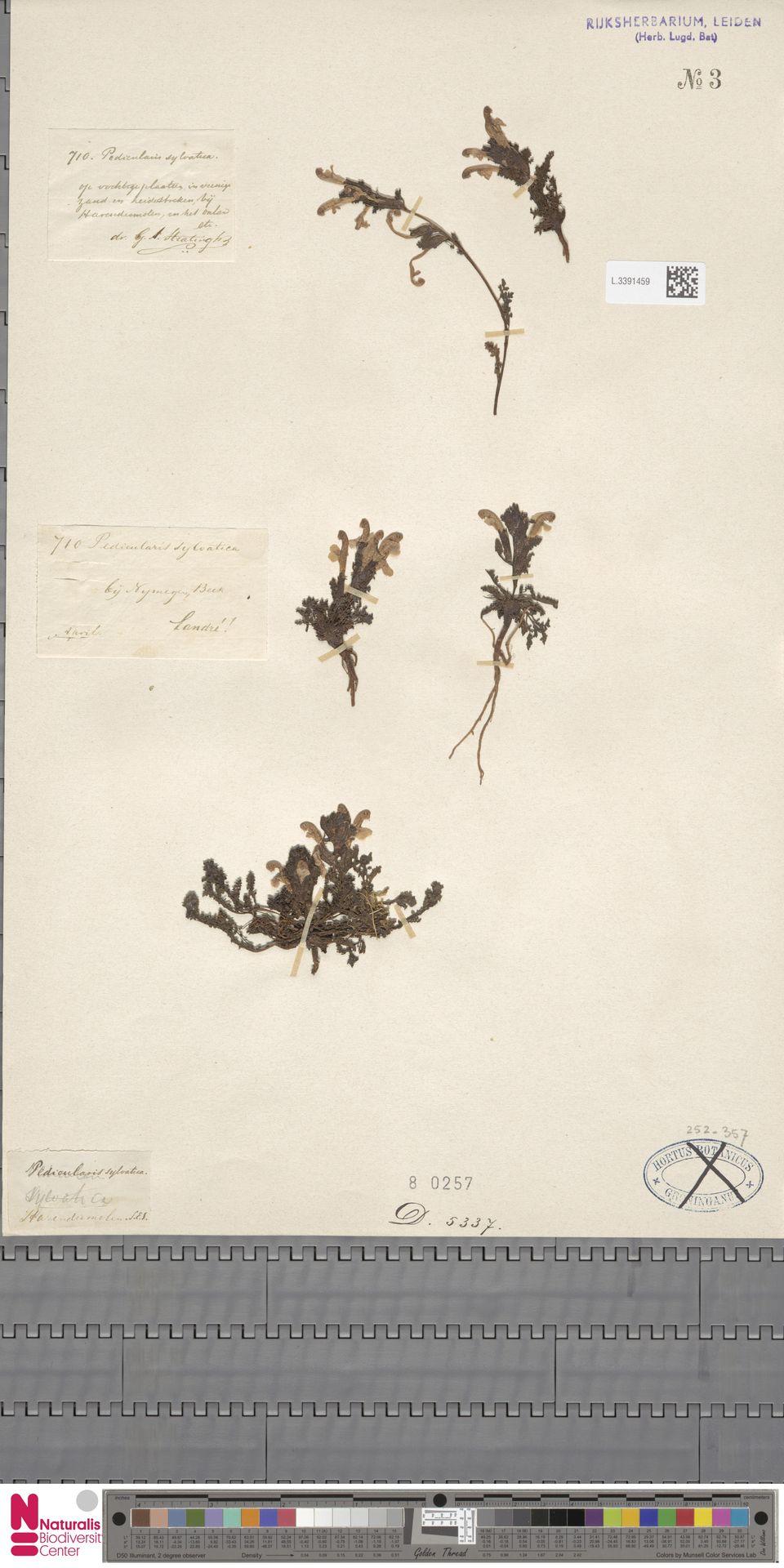 L.3391459 | Pedicularis sylvatica L.