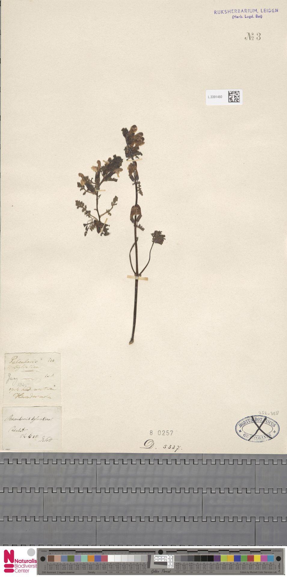 L.3391460 | Pedicularis sylvatica L.