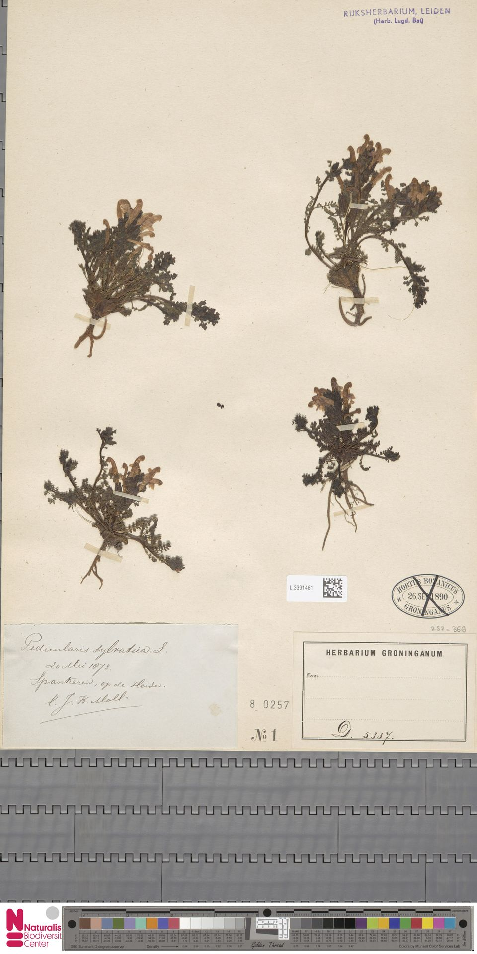 L.3391461 | Pedicularis sylvatica L.