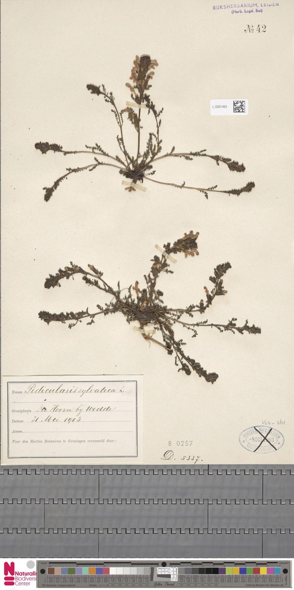 L.3391463   Pedicularis sylvatica L.