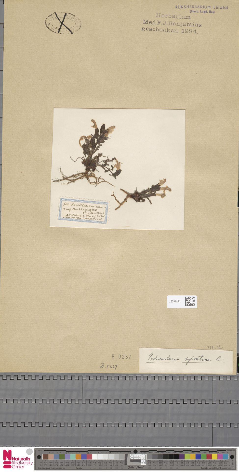 L.3391464   Pedicularis sylvatica L.
