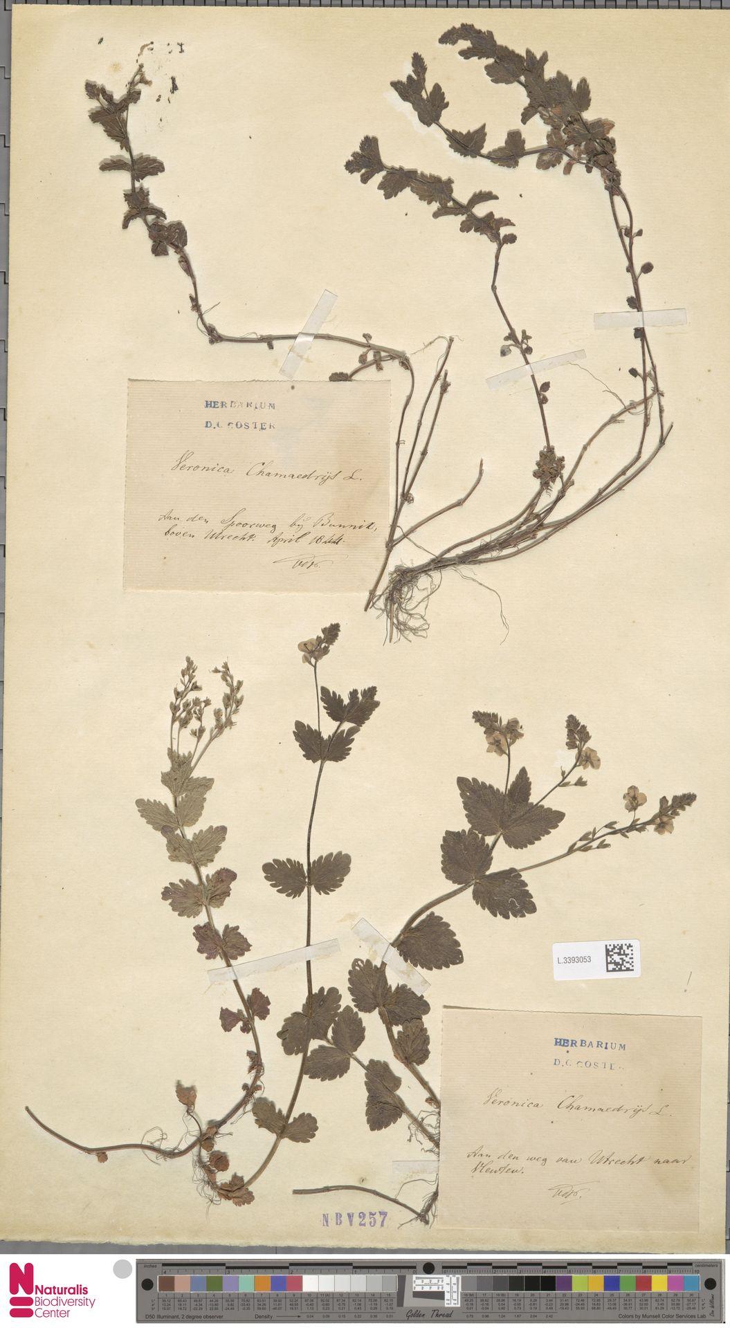 L.3393053 | Veronica chamaedrys L.
