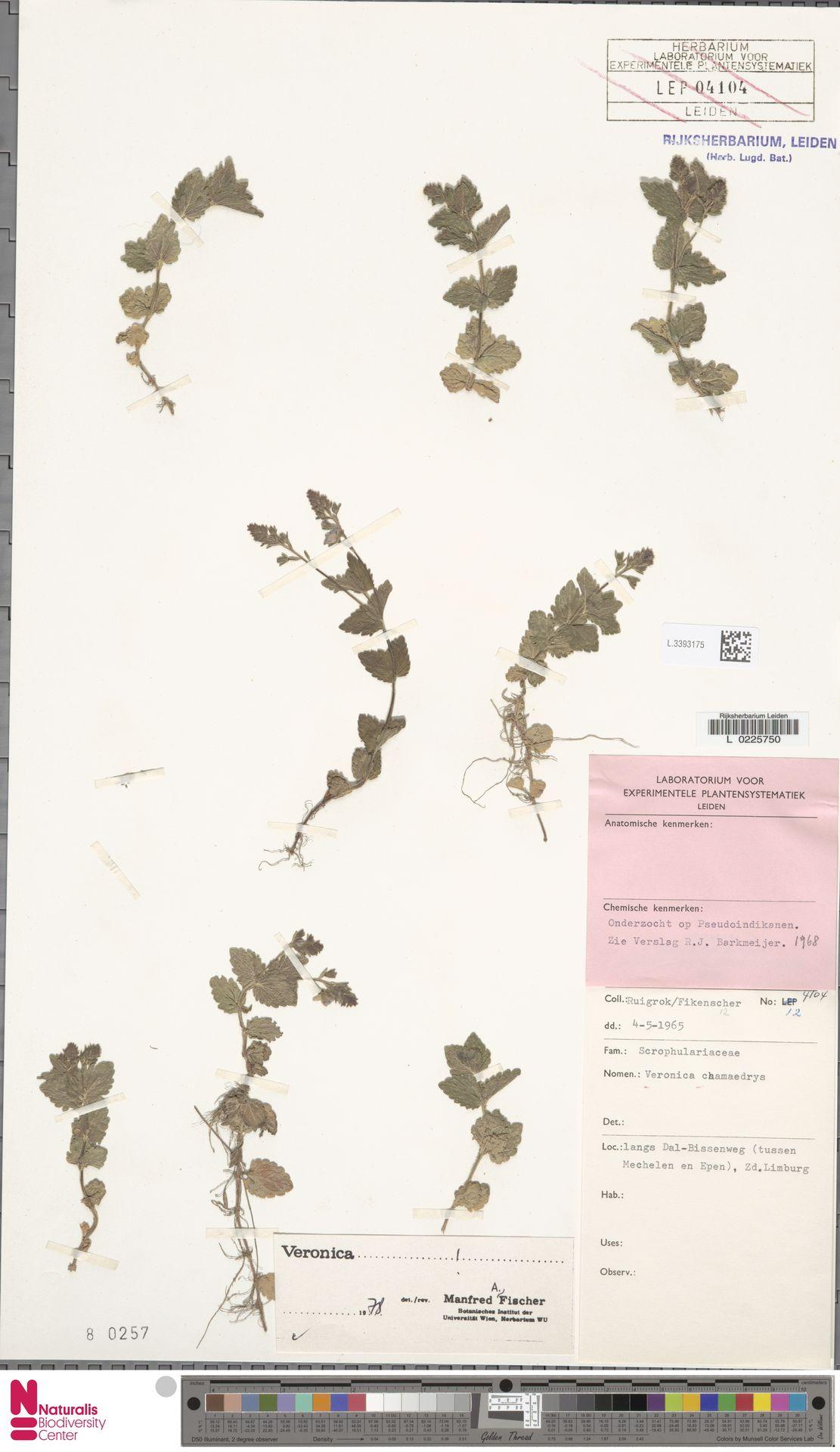 L.3393175 | Veronica chamaedrys L.
