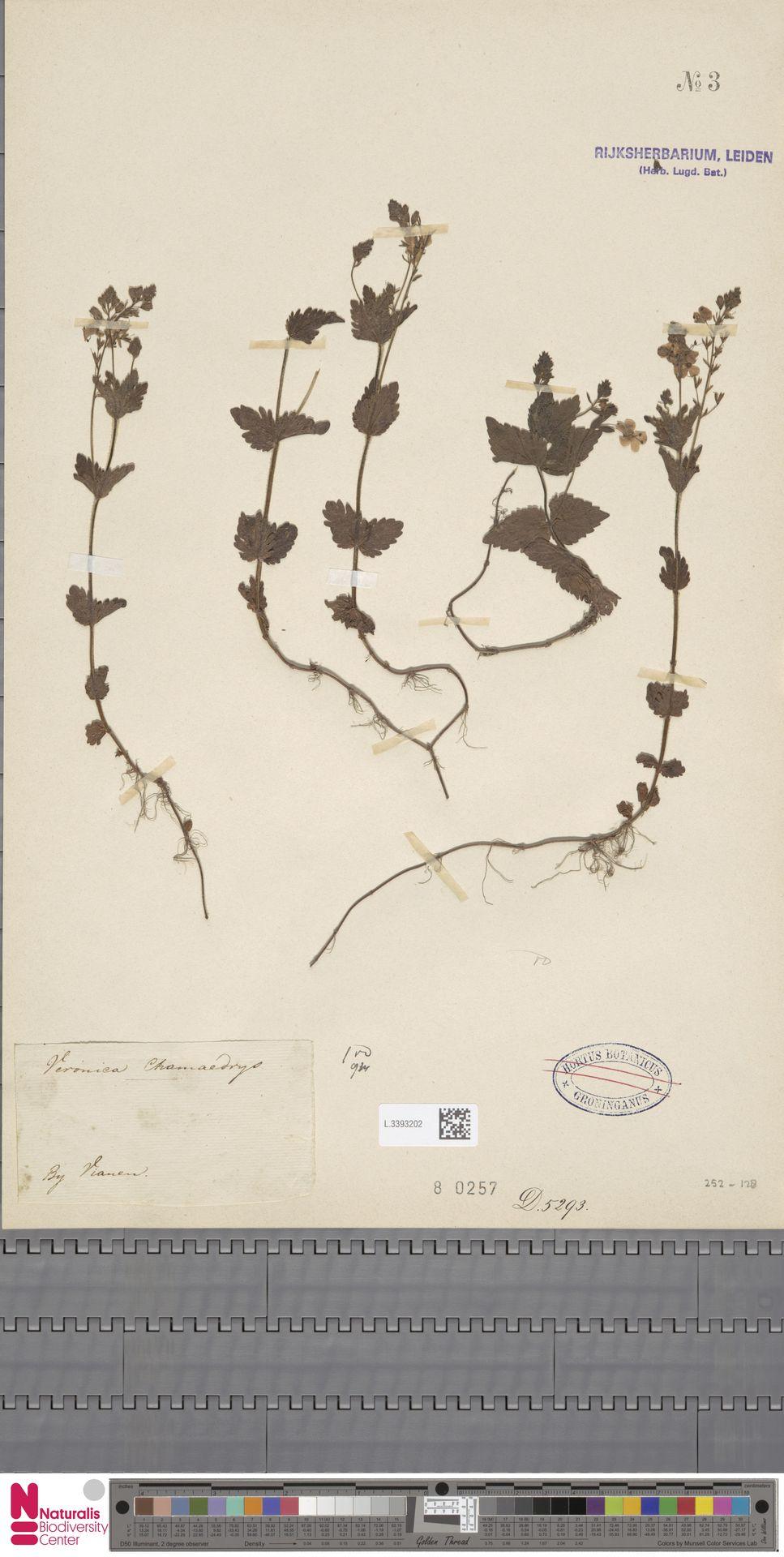 L.3393202 | Veronica chamaedrys L.