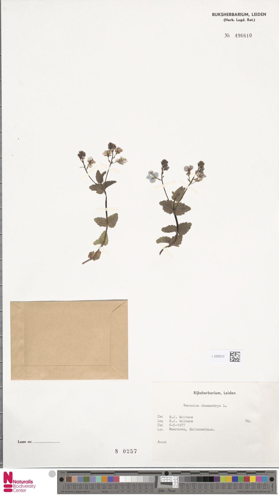 L.3393312 | Veronica chamaedrys L.