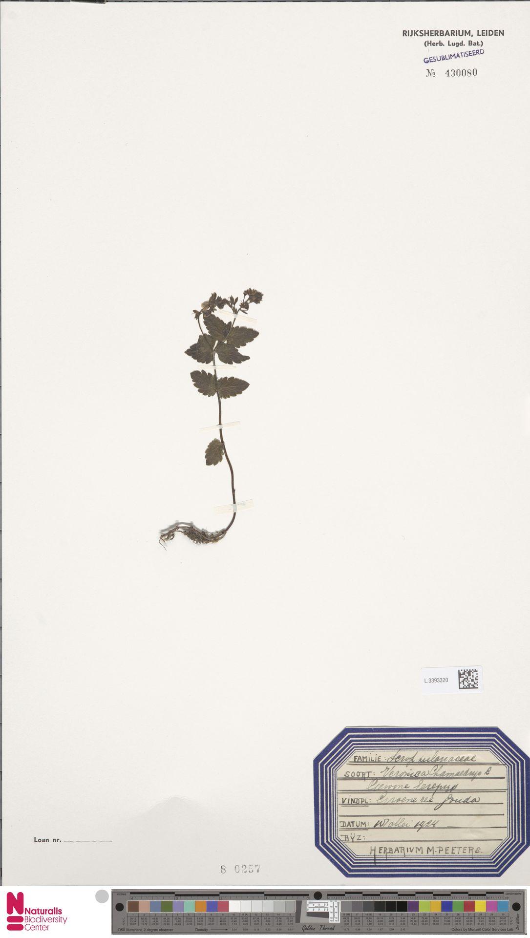 L.3393320 | Veronica chamaedrys L.