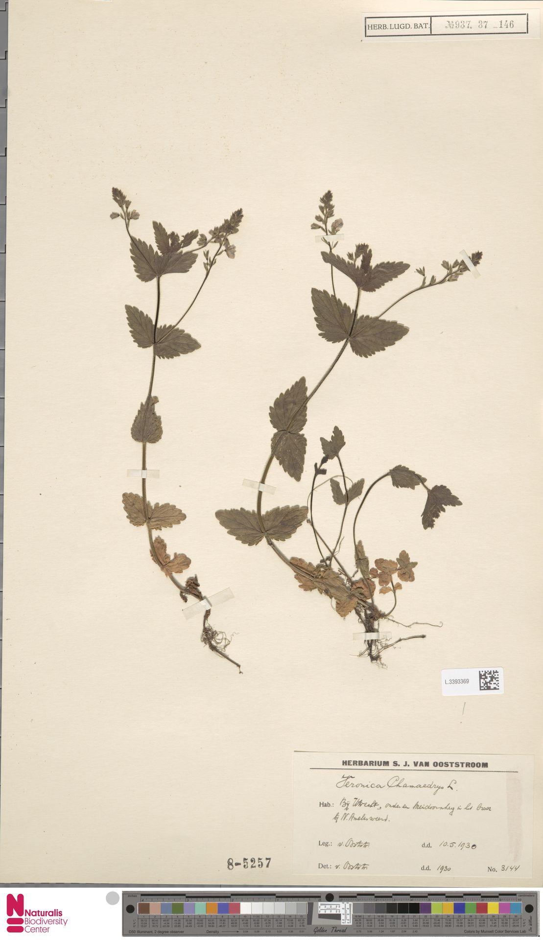 L.3393369 | Veronica chamaedrys L.