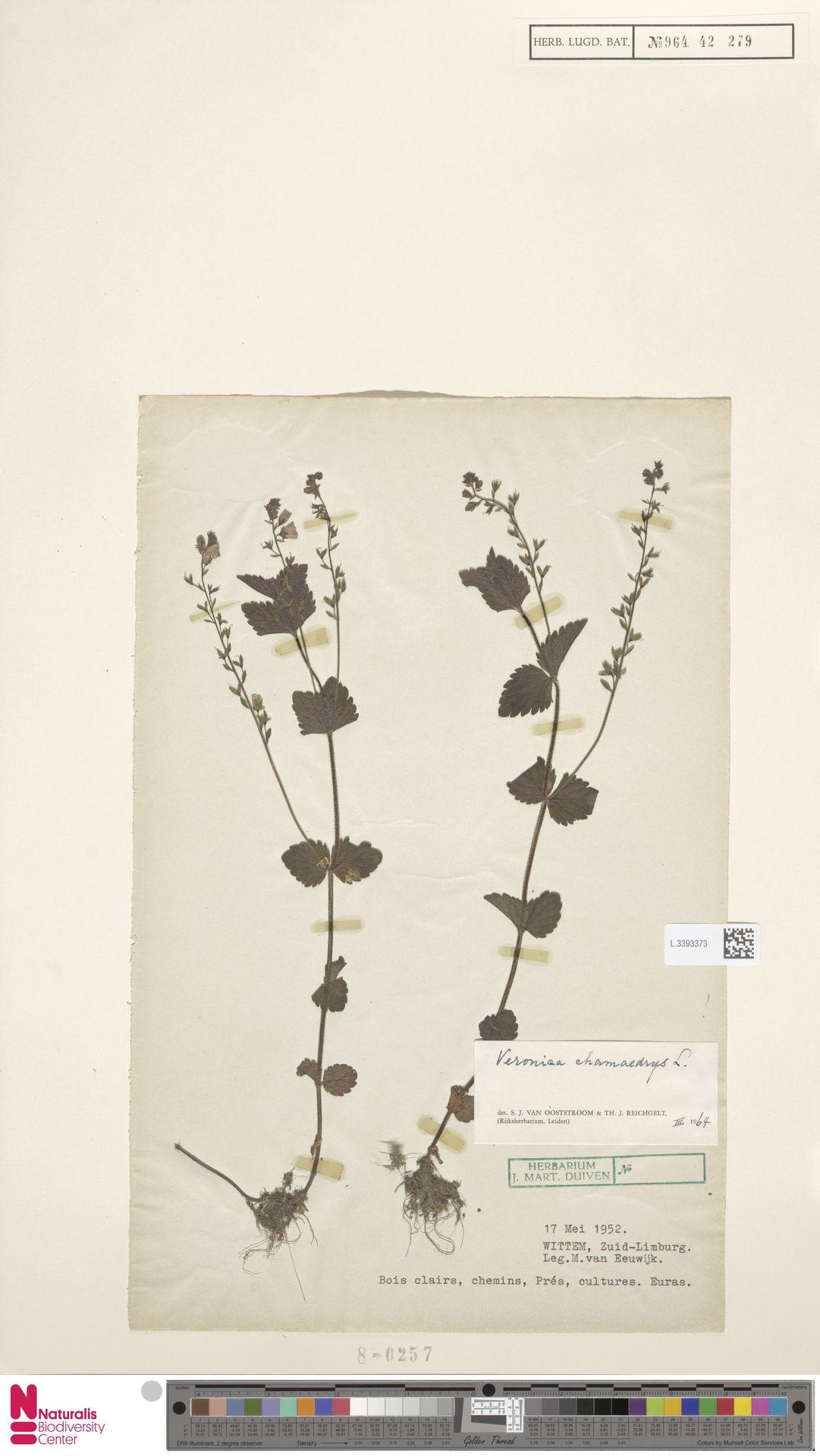 L.3393373 | Veronica chamaedrys L.