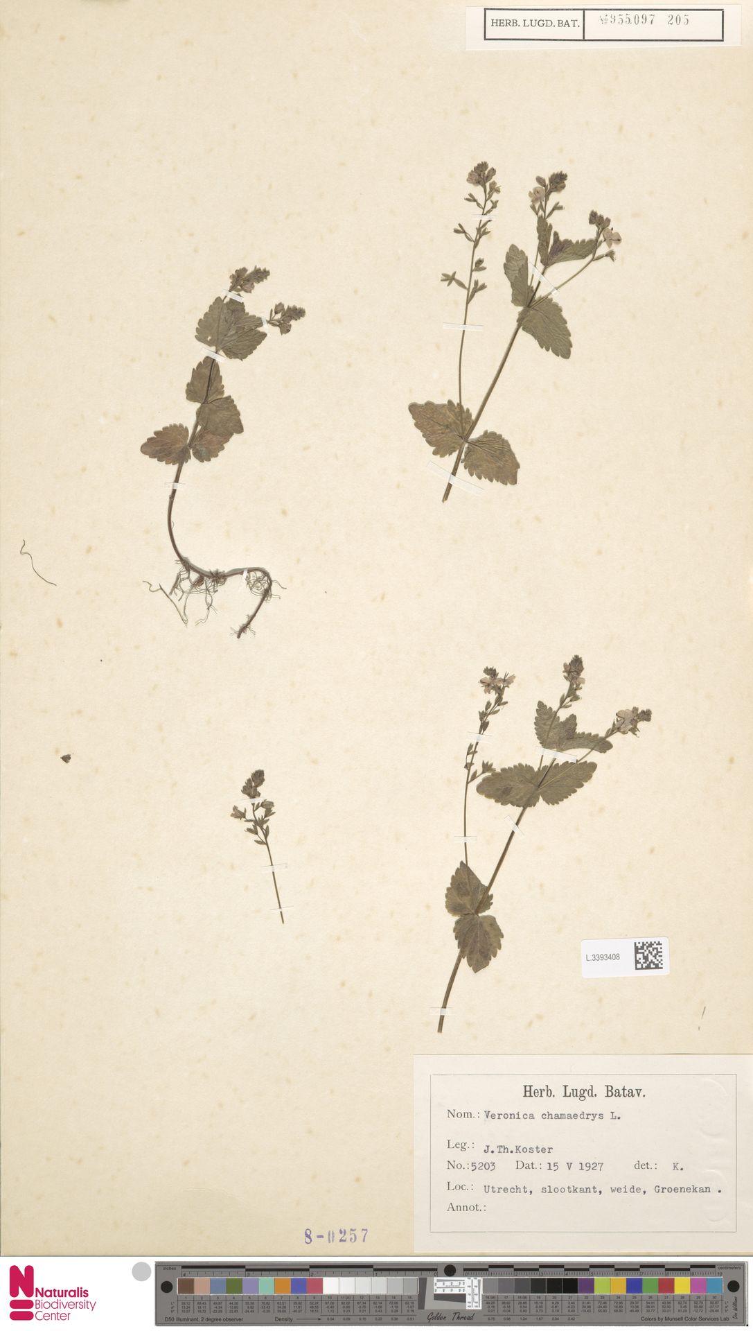 L.3393408 | Veronica chamaedrys L.