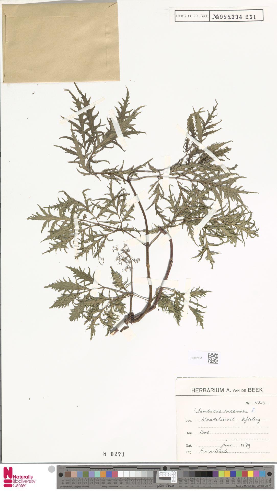 L.3397051   Sambucus racemosa L.