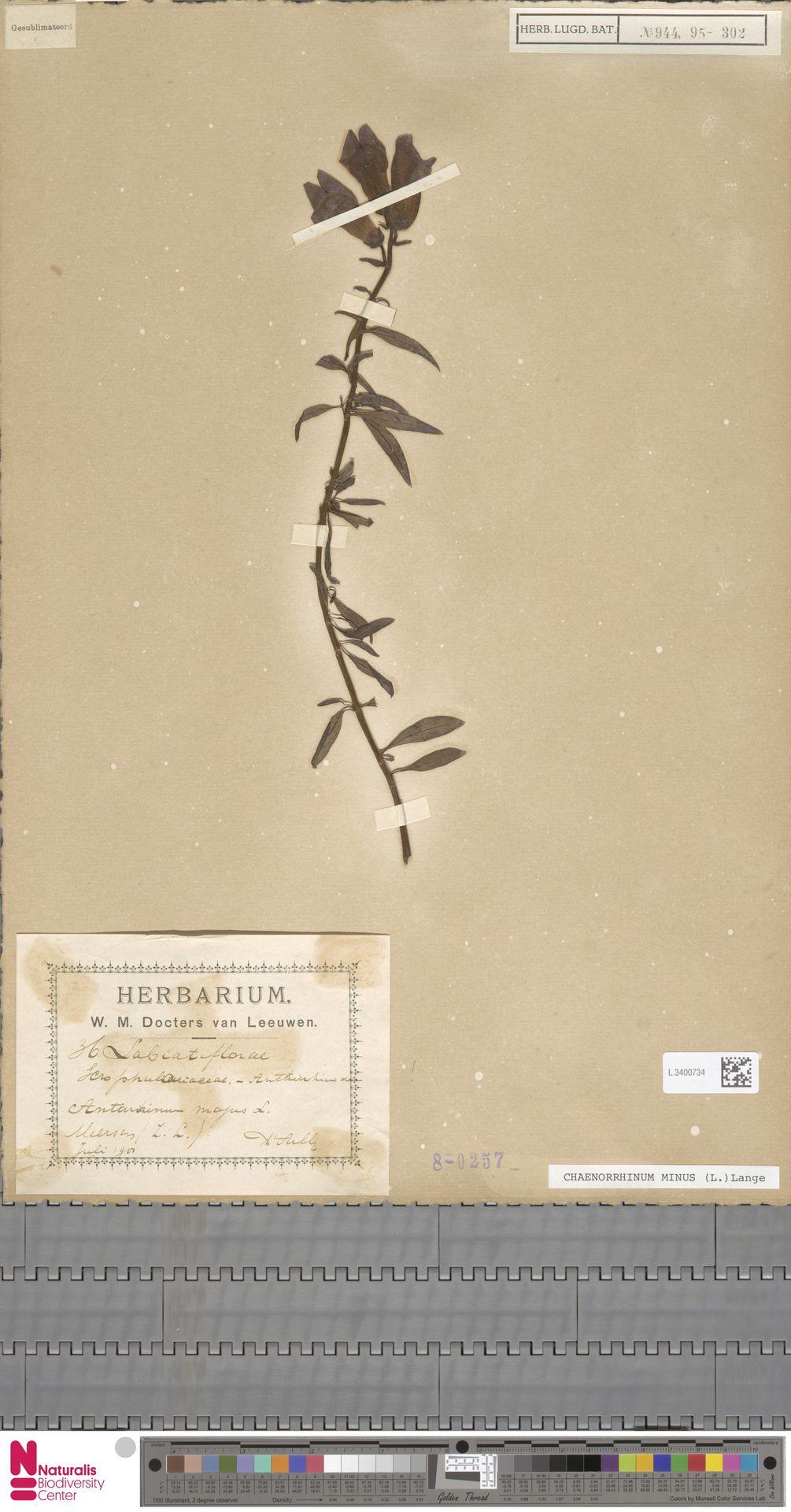 L.3400734 | Antirrhinum majus L.