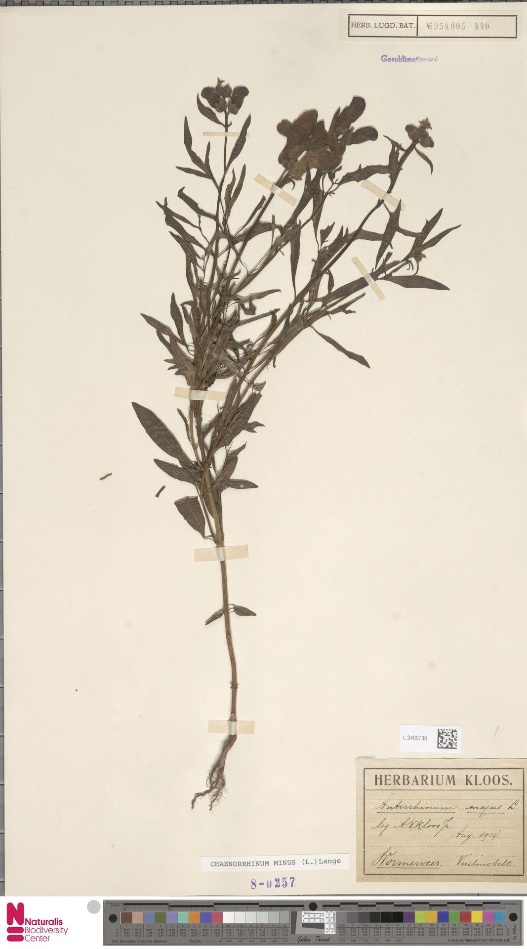 L.3400736   Antirrhinum majus L.