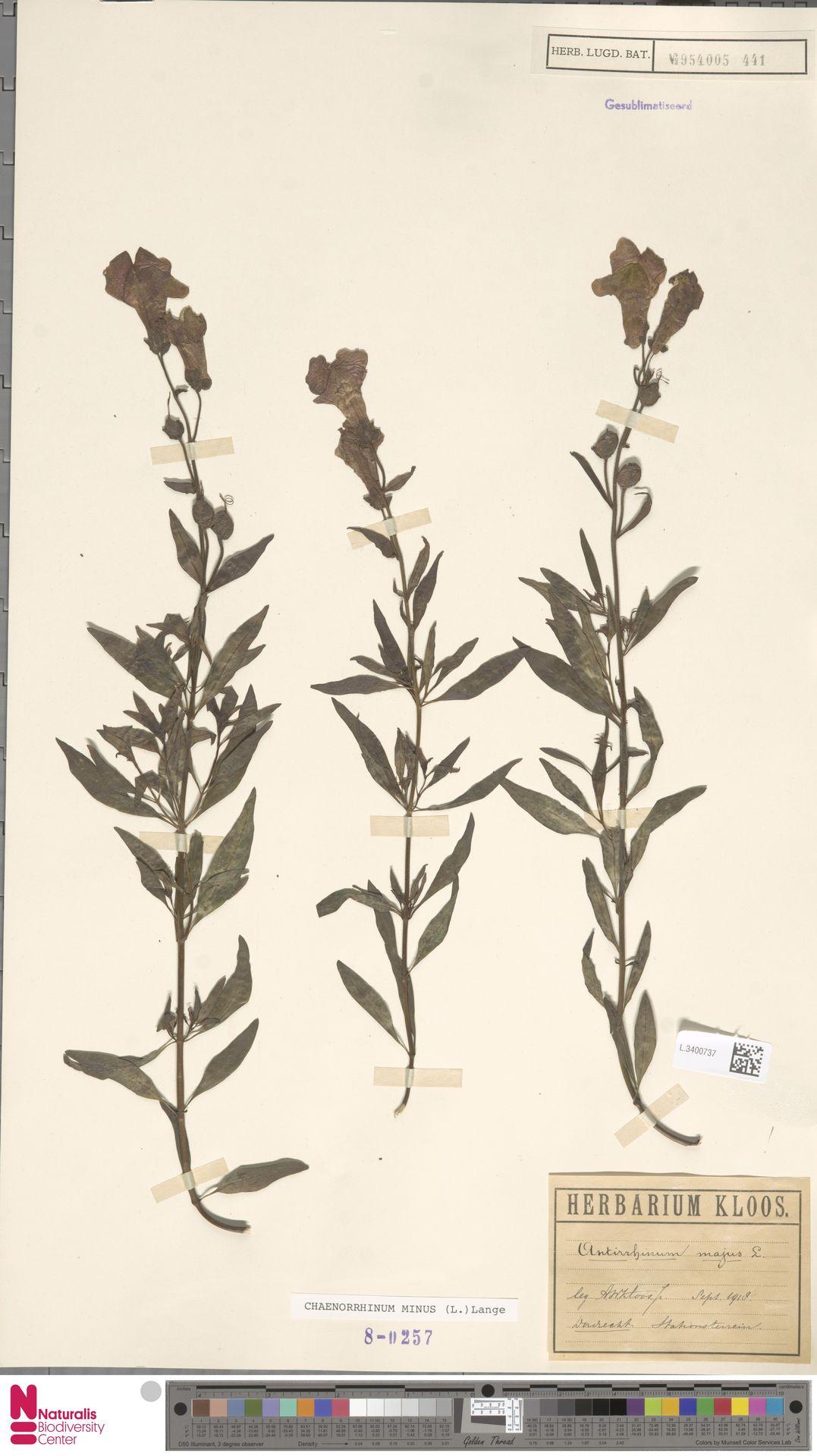 L.3400737 | Antirrhinum majus L.
