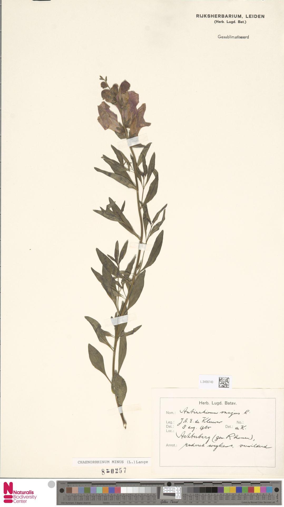 L.3400740 | Antirrhinum majus L.