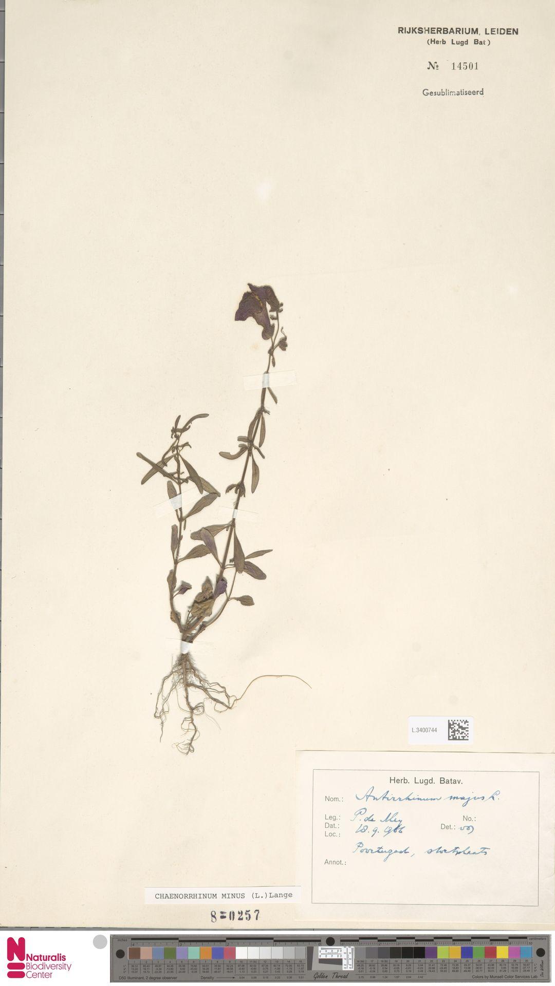 L.3400744 | Antirrhinum majus L.